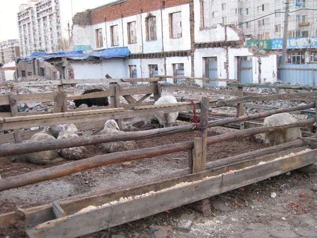 马路对个儿的一家新店   旁边回民过冬养的羊