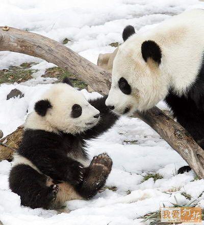 可爱的大熊猫-蓝灵心-搜狐博客