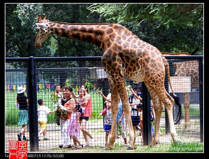 长颈鹿-陆地上最高的动物!