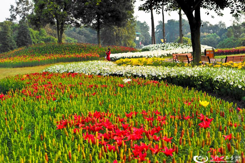 走进石象湖,遍地是花花。从荷兰引进的50多个珍贵百合花品种,啥子肉色杰作、特里昂菲特、里昂、白天使等开得正旺,由醉蝶花、硫化菊、波斯菊、观赏谷子、一串蓝、五彩椒、彩叶草等组成的七彩花田梦幻斑斓,向日葵和若干不晓得名字的花花草草等等也竞相争艳,整个景区被白、红、黄、金、粉、紫、蓝等色彩,弄得那硬是无比的浪漫和温情啊!
