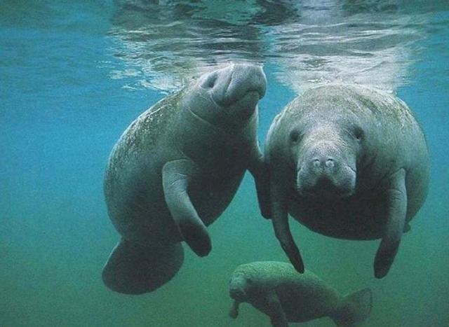 灭绝动物——大海牛