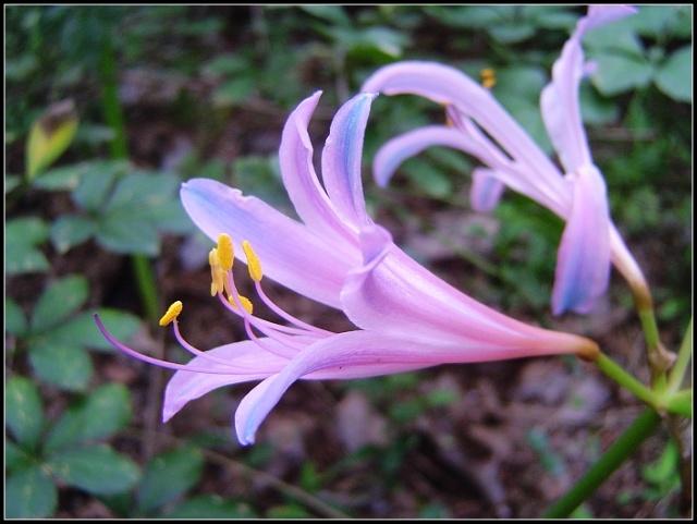 如梦如幻的紫色彼岸花_芄兰-芄兰 芄兰的花语 芄兰之叶,童子佩 出自