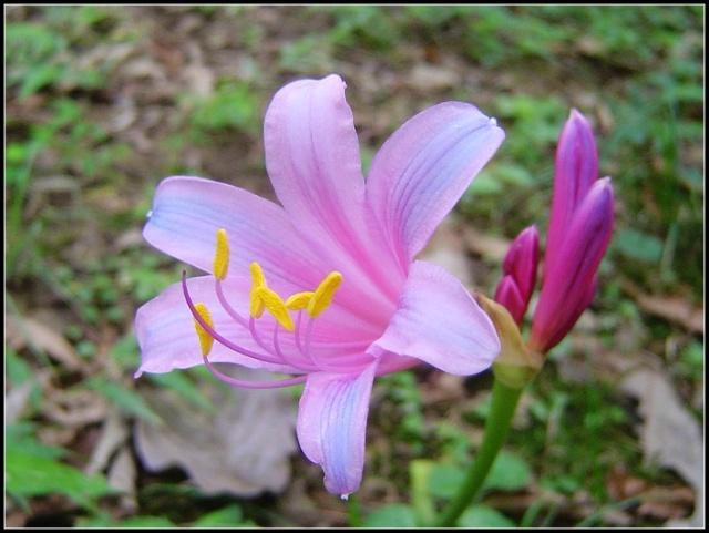 如梦如幻的紫色彼岸花