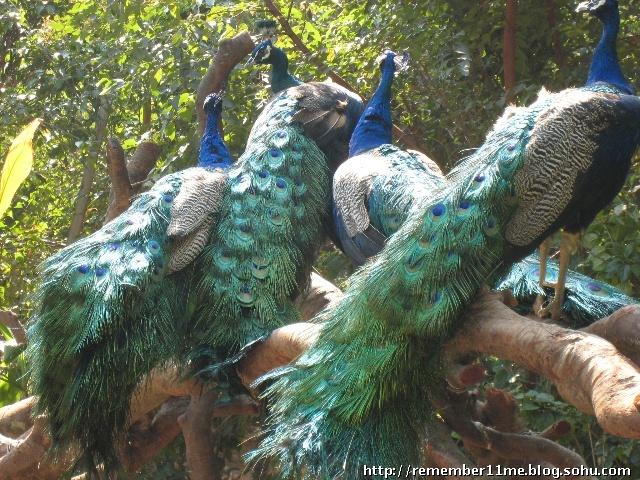 后来在广州动物园看白孔雀
