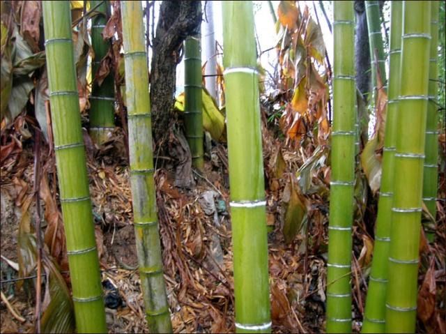 55   春天的楠竹林 徐鲁    江南三月,细密的雨声中,传递着温煦的杏花