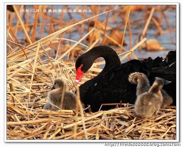 冬天的小黑天鹅-橘子红了-搜狐博客