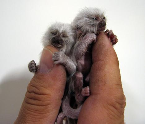 亚马逊原始森林里的这种猴子只有12公分长, 大约半斤重 其实这不是