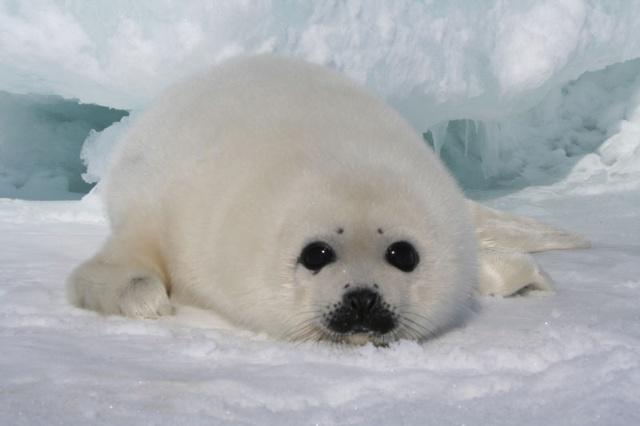 一组可爱小海豹的照片