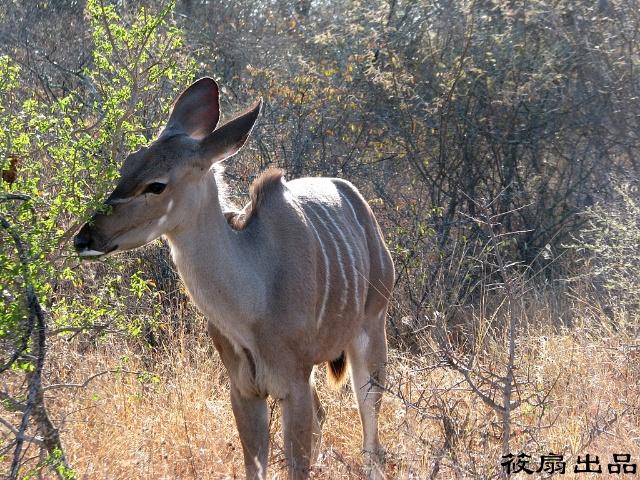 南非游记之克鲁格国家野生动物园 (二)