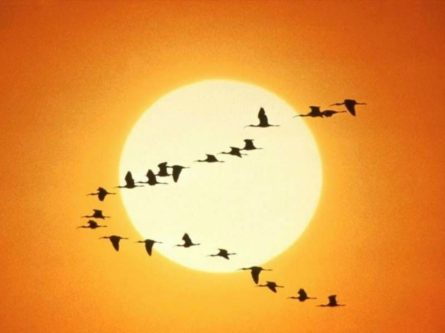 正在飞行的大雁简笔画