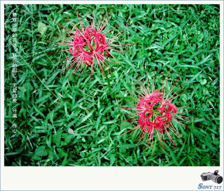 [转] 蔓珠沙华(曼陀萝) - 彼岸花 - 死亡之花