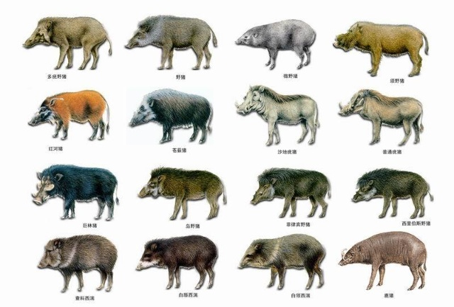 猪科Suidae是分布于旧大陆的猪型动物,是猪形亚目中现存种类最多,分布最广的一科。猪科吻部长,形成猪鼻,嗅觉极发达,犬齿发达,雄性上犬齿外露并向上弯曲,形成獠牙,每足4趾,仅中间2趾着地。猪科是现存偶蹄目中食性最杂的一类,适应力强,可生活于多种生存环境中。猪科最著名最成功的种类当属野猪或家猪Sus scrofa,野猪即是家猪的祖先,二者为同一种,学名相同。猪科成员集中分布于非洲和亚洲热带地区,只有野猪在欧亚大陆和非洲北部的广大地区都能见到。野猪在很早以前就驯化成了家畜,但是现存野生种群仍然很繁盛,是驯化