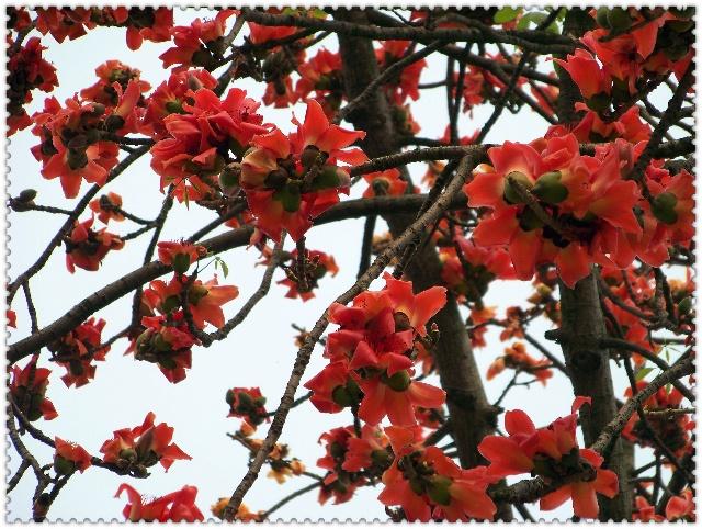 早春二三月是木棉花开的时节