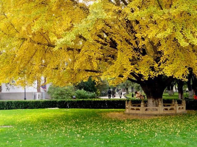 北大西门古老的银杏树