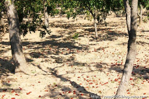 枣树上结满了枣子