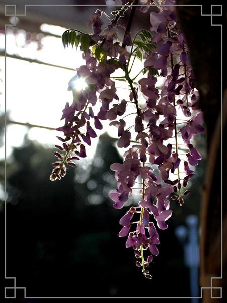 青岛中山公园紫藤