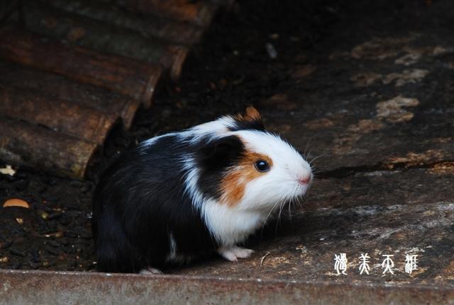 """不过这个小东西看着还蛮可爱--看着像俺外甥养的""""荷兰猪""""--豚鼠."""