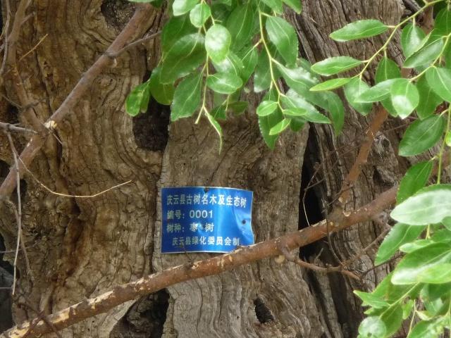 描写枣树的诗句
